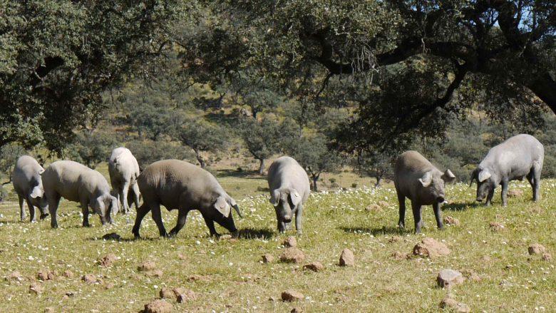 """""""Glückliche"""" Schweine auf der Weide"""