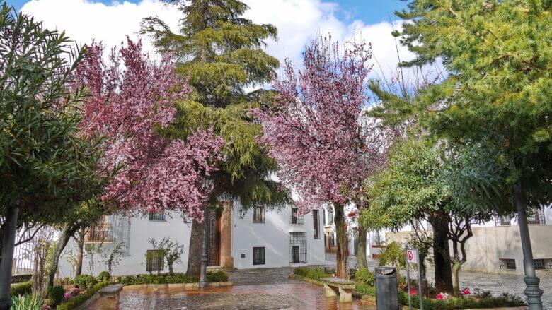 Mandelbaumblüte Mitte März auf der Plaza de María Auxiliadora in der Altstadt Ronda