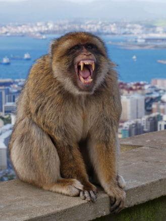 Das Affenmännchen faucht wütend