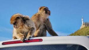 Affen auf dem Felsen von Gibraltar