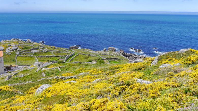 Ginster im Frühling an der Costa da Morte
