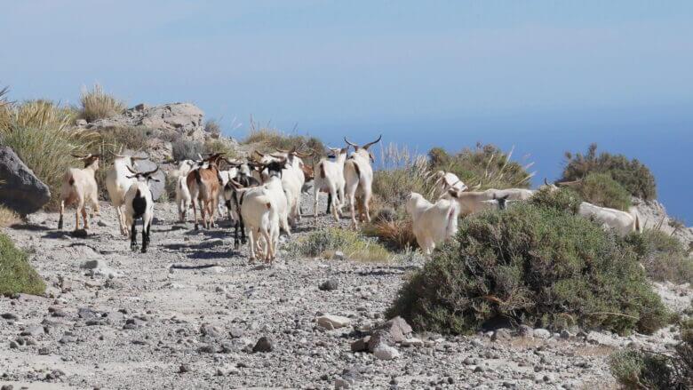 Herde von Ziegen